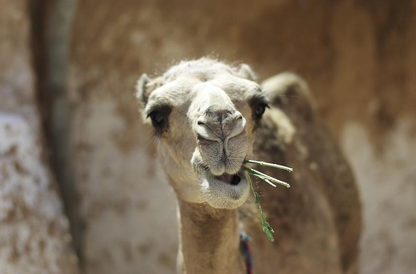 tête de chameau